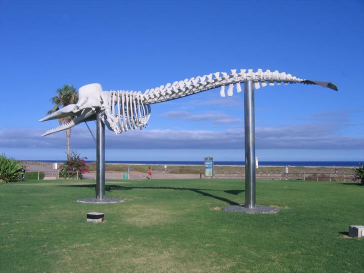 Morro Jable sperm whale skeleton